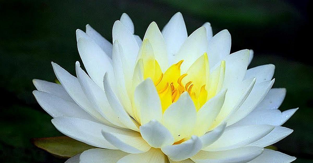 Анимационные открытки, картинки кувшинка белая водяная лилия
