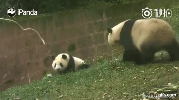 Уроки воспитания от панд животные, панда, Видео, гифка