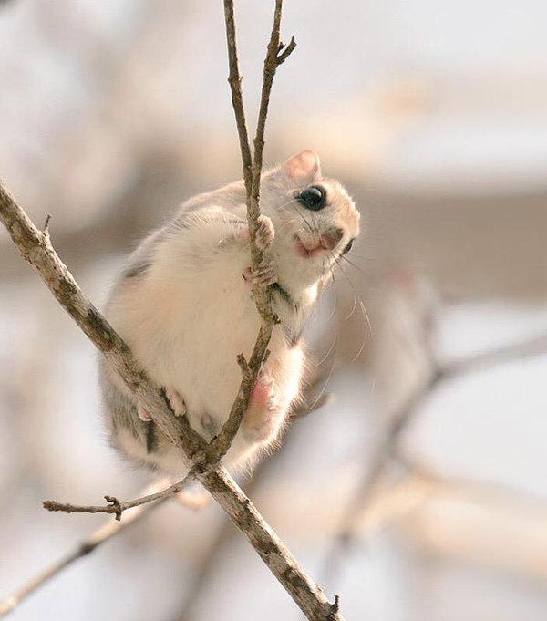 Эзо момонга, белка-летяга острова Хоккайдо.