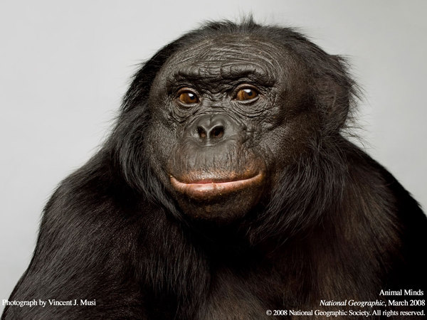 Канзи, бонобо-Канзи бонобо, Канзи, длиннопост