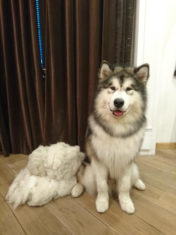 Начесали Собака, Аляскинский маламут, шерсть
