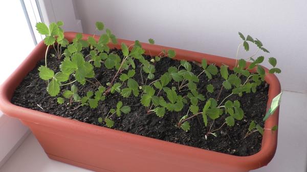 Посадка и выращивание земляники (клубники) земляника, клубника, огород, дача, сад, длиннопост
