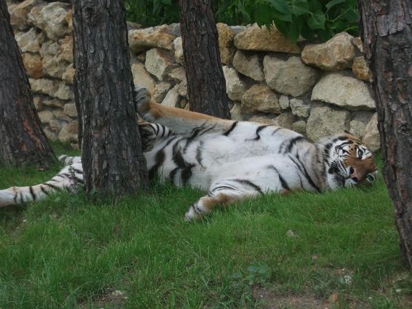 Большая киса... Тигр, Кот, Сафари-Парк, Геленджик, Фотография