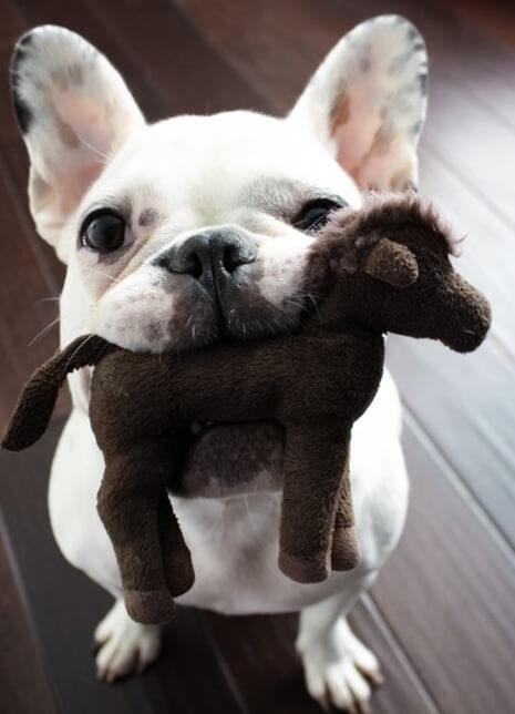 Давай сыграем с тобой в игру?! Собака, французский бульдог, бульдог, мягкая игрушка, Любовь, домашние животные, Животные, друг человека
