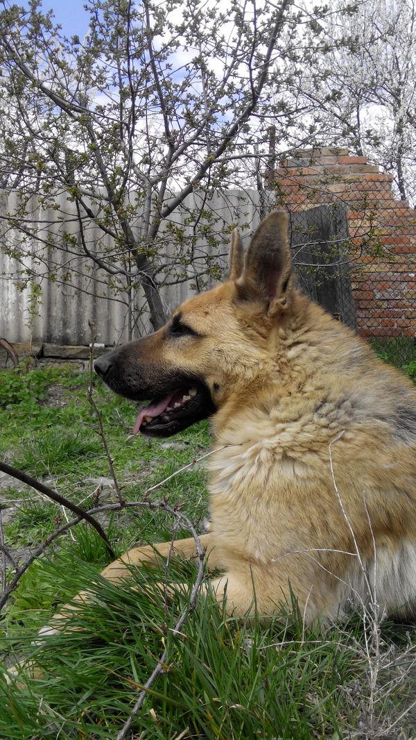 Позирует породистые собаки, позирование, длиннопост, собака, фотография