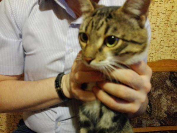 Йошкар-Ола, найден домашний кот [Хозяин найден] Кот, Найден кот, Потерялся кот, Йошкар-Ола, Марий эл, Лига Добра, Длиннопост