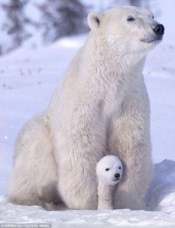 Белые медвежата резвятся с мамой милота, белый медведь, Животные, фотография, длиннопост