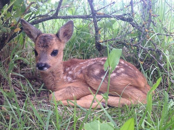 Малыш косули, которого одного нашли в лесу Природа, Беларусь, Дикая природа