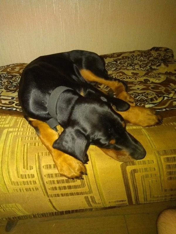 Новый член семьи. Собака, Животные, Доберман, Длиннопост
