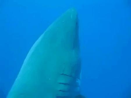 Огромная акула
