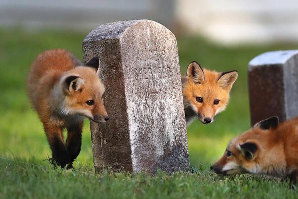 Лисы нашли местечко... лиса, кладбище, длиннопост