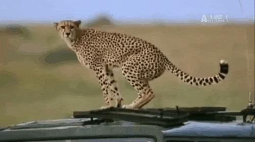Сувенир от гепарда