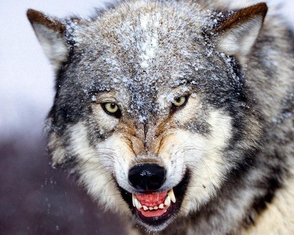 Битва титанов: волк против рыси биология, зоология, рысь, Волк, схватка, длиннопост