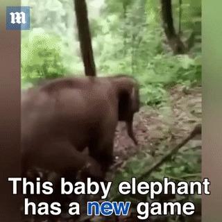 Слонёнок нашёл себе развлечение :)