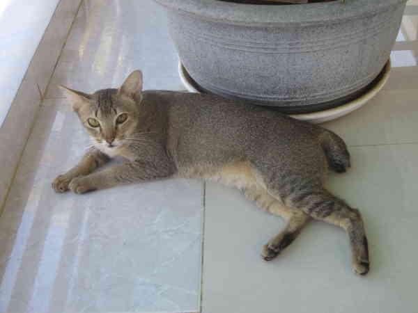 Вьетнамские кошки Вьетнам, кошки и котята, домашние животные, милота, кот