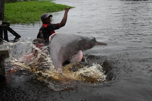 Амазонский розовый дельфин.