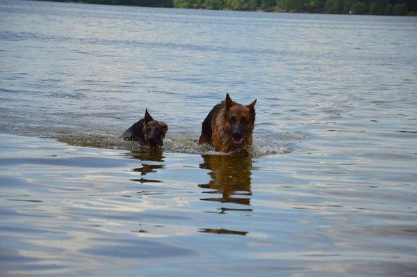 Собачьи будни Собака, щенки, немецкая овчарка, овчарка, купание, веселье, длиннопост
