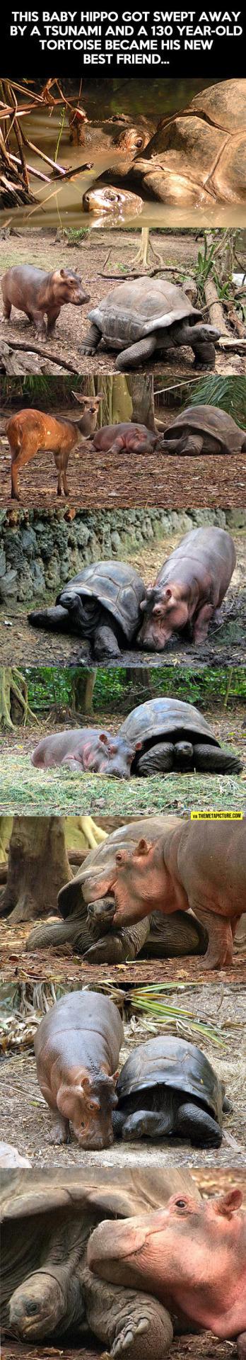Детёныш гиппопотама подружился с 130-летней черепахой после цунами Гиппопотам, Черепаха, Сироты, Цунами, Дружба, Длиннопост