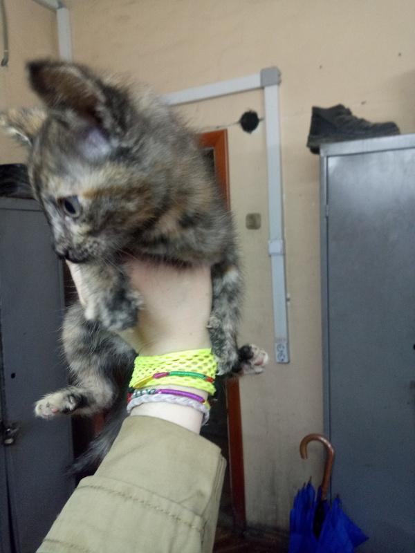 Электрокошка пристрою, трехцветная кошка, тюмень, длиннопост, беспокойство, пожалуйста