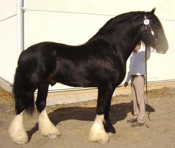Лошадиные силы лошадей Лошадь, Тяжеловоз, Лошадиные силы, Уатт, Не совсем серьёзно, Шутка, Длиннопост