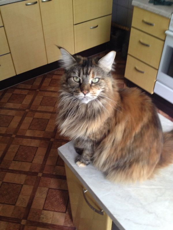 Пропала кошка. Красногорск трехцветная кошка, пропажа красногорск, красногорск, Помощь, Поиск, кот