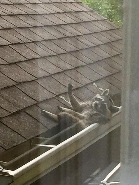 Моя сестра прислала мне эту фотку, енот неплохо устроился в водостоке на соседнем доме