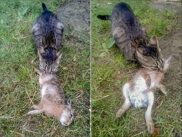 В Беларуси кошка охотится на зайцев!