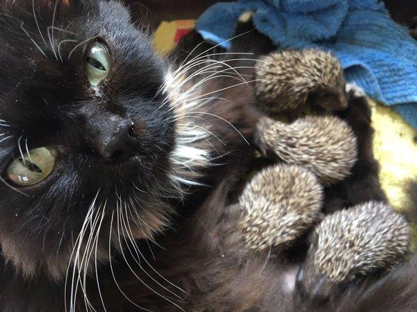 Встречайте: Котоежи кот, Ёжик, котоеж, владивосток