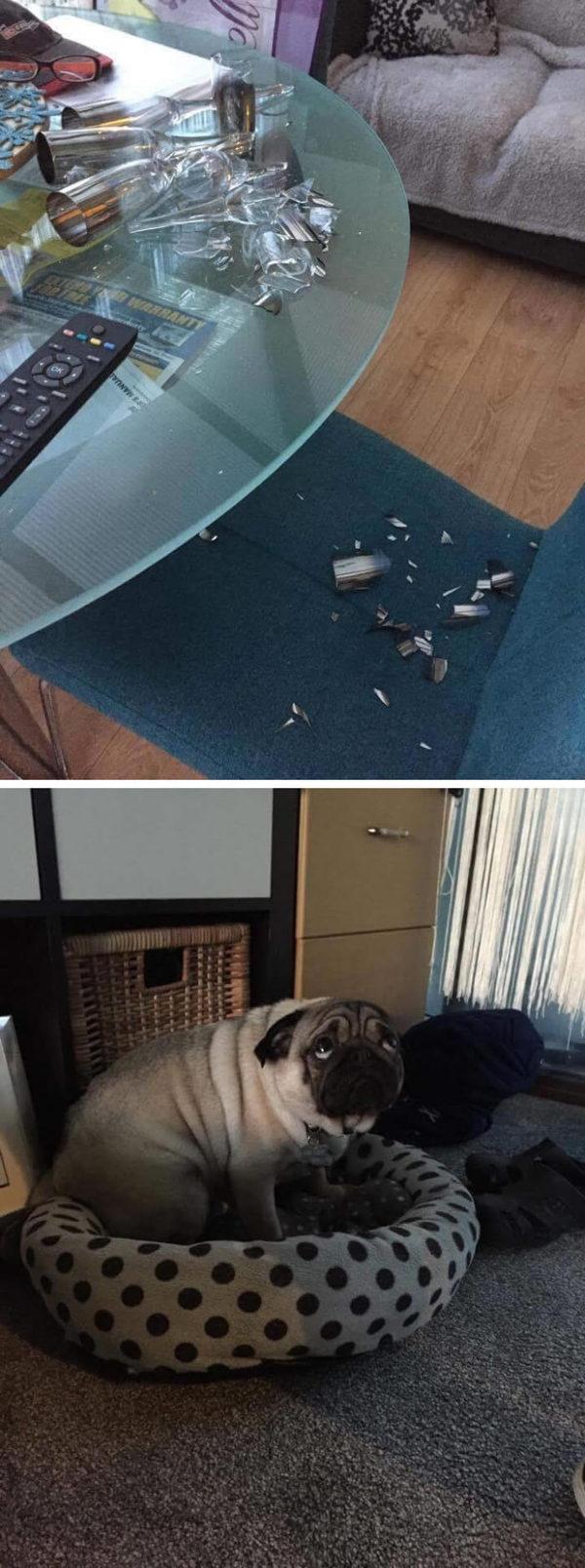 Самый виноватый мопс в мире мопс, Собака, виноват, не мое, длиннопост