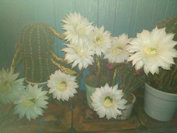 А у меня зацвели кактусы) Кактус, Цветущие кактусы, Эхинопсис, Длиннопост