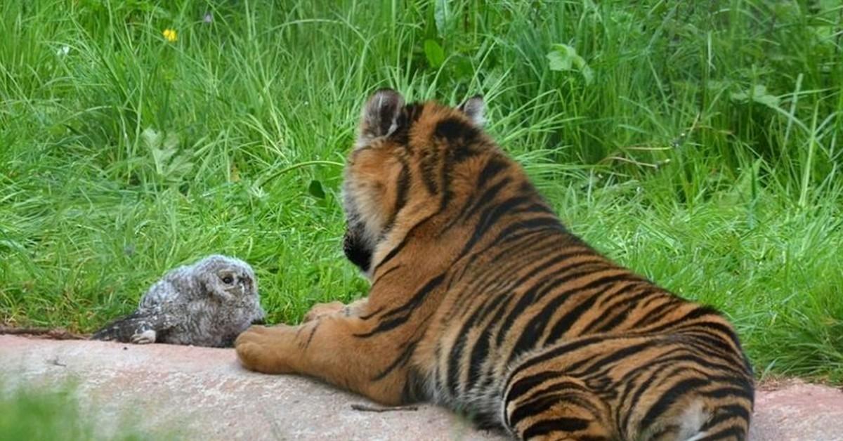 картинки тигров с совами венценосный мухоед