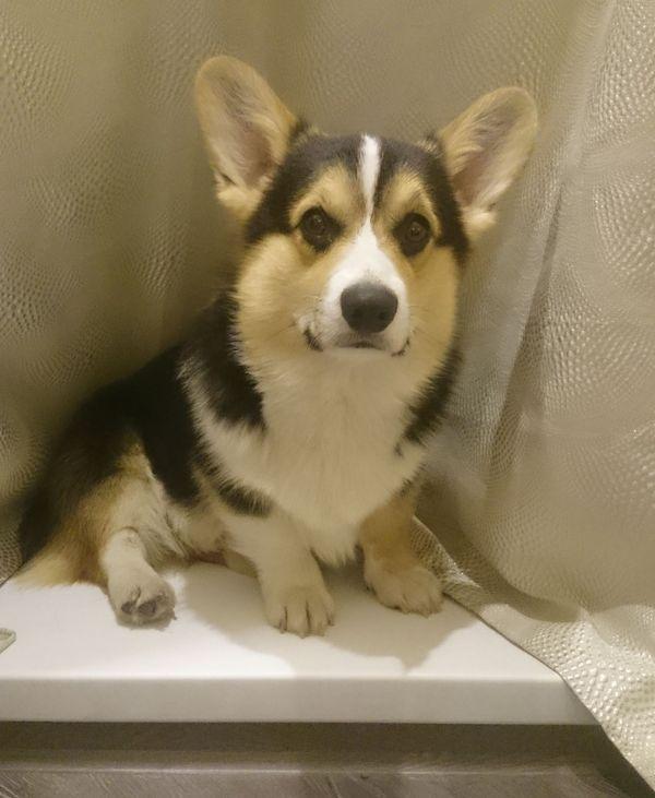 Самый фотогеничный член семьи блондинов:) Корги, Милота, Собака, Кот