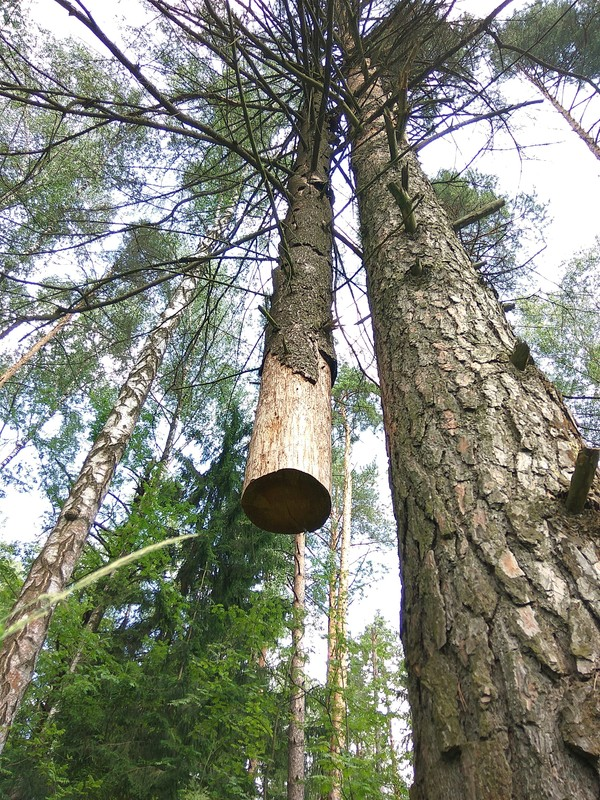 Друг в беде не бросит лес, деревья, Природа, дружба, поддержка, пень, длиннопост