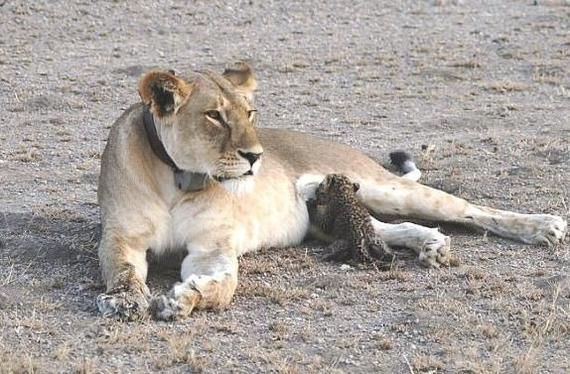 """В национальном парке Танзании """"Серенгети"""" произошёл небывалый случай Леопард, Дикая львица, Фотография, Не может быть!"""