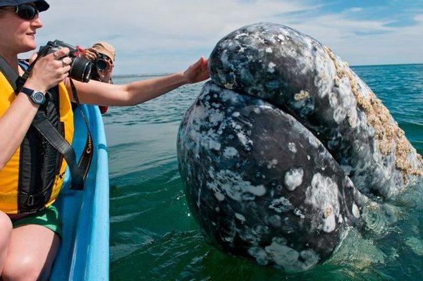 Серые киты в мексиканской лагуне доказали, что они не хуже дельфинов (6 фото) кит, фотография, Подборка, длиннопост