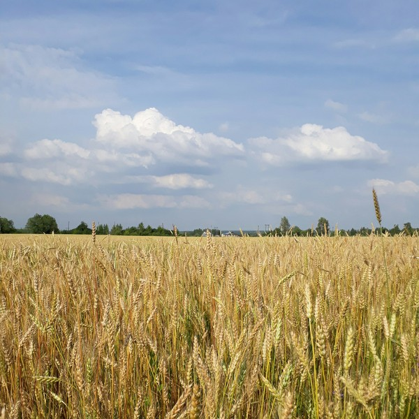 Пшеничное поле Природа, пшеничное поле, лето, Россия, длиннопост
