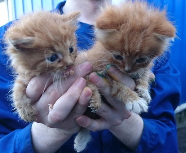 Подольск, две малыхи. Котомафия, Отдам кота отдам котенка, В добрые руки, Кот, Рыжие, Подольск