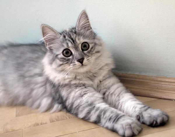 siamese persian mix cat behavior