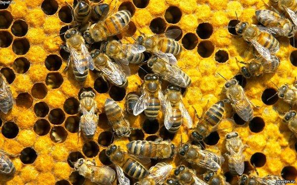 10 вещей, которые пропадут навсегда, если исчезнут пчелы [Фейк] Пчелы, Пчелы исчезают, Честно украдено, Hi-News, Длиннопост, Фейк