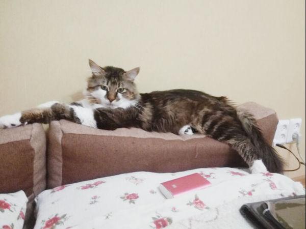 #В мире животных ... Гибсон кот, в мире животных
