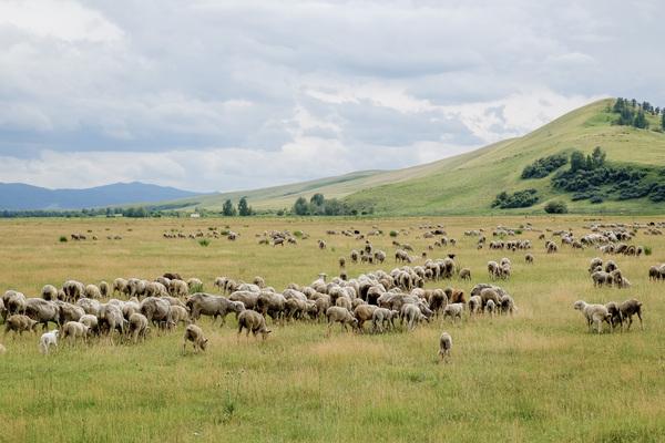 Пастбище овец фотография, пейзаж, природа России, овцы России, Хакасия