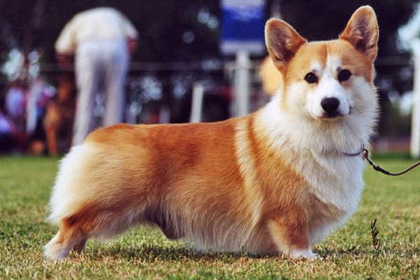 Милоты пост о породе Корги корги, Собака, собаки и люди, милота, длиннопост