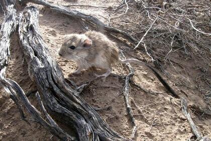 Объяснена аномальная ДНК у аргентинских крыс крыса, днк, Аргентина