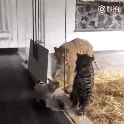 Повезло этим кошкам, что они за стеклом