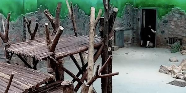 В Китае сотрудников заповедника обвинили в жестоком обращении с пандами гифка, панда, Китай