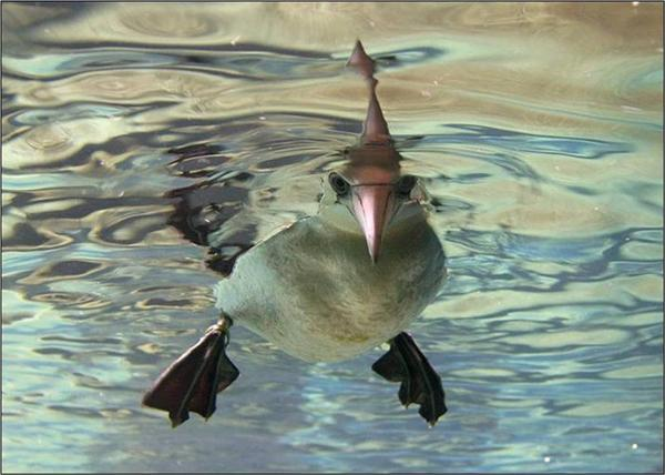Животные под водой Животные, под водой, подборка фотографий, не мое, украдено из интернета, длиннопост