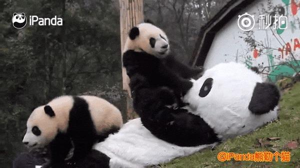 Плюшевый плюшевый костюм панды панда, гифка, заповедник, Китай, Волонь