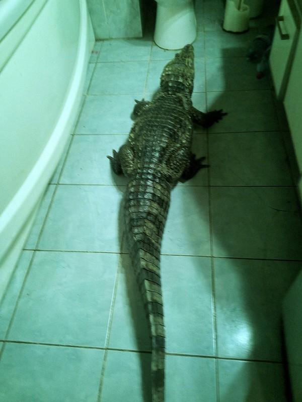 """Ааа, крокодил в ванной..."" крокодил, Рептилия, Животные, домашний любимец, террариумистика, Крокодил Гена, юмор, ванна"