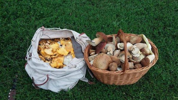 Тихая трофейная охота! )) грибы, тихая охота, белый гриб, лисички, сухие грузди, алтайский край, длиннопост