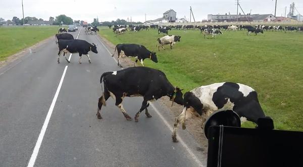 Коровы попали в беду Корова, Жестокость с животными, Ферма, Калека, Видео, Беларусь, Животноводство